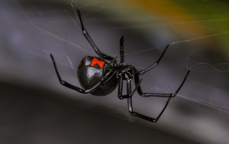 a black widow spider outside a home in tulsa oklahoma