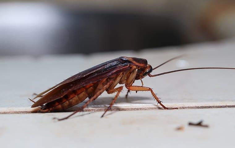 an american cockroach crawling across a tulsa oklahoma kitchen top