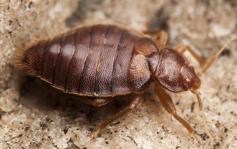 a bed bug infestation in a prior texas home