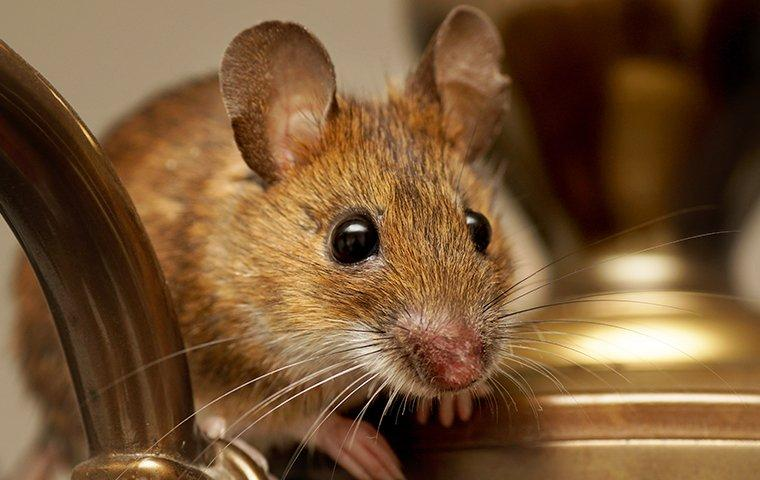 house mouse crawling on furniture