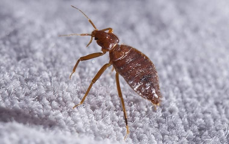 a bed bug on a carpet in tulsa oklahoma