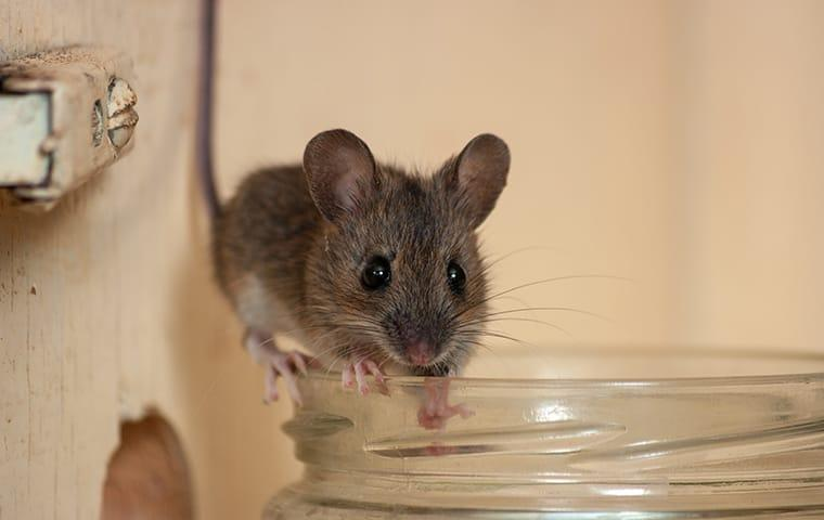 a mouse crawling into a glasss jar that is stored in a pryer oklahoma kitchen cupboard