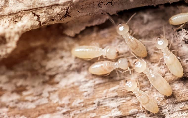 a cluster of subterranean termites eating through wood
