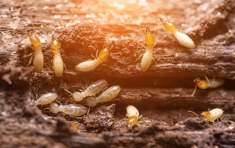 a termite colony on damaged wood in vinita oklahoma