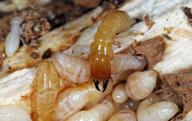 a colony of termites destroying wood