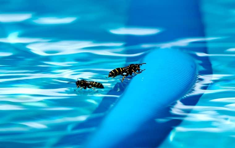 wasps in pool water
