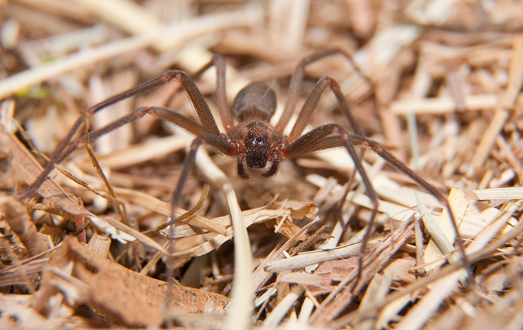 a brown recluse spider crawling outside in owasso oklahoma