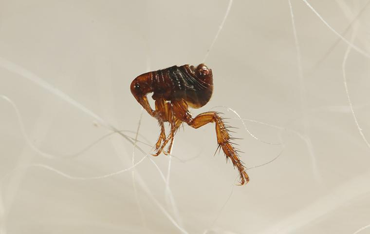 a flea on a person in wagoner oklahoma