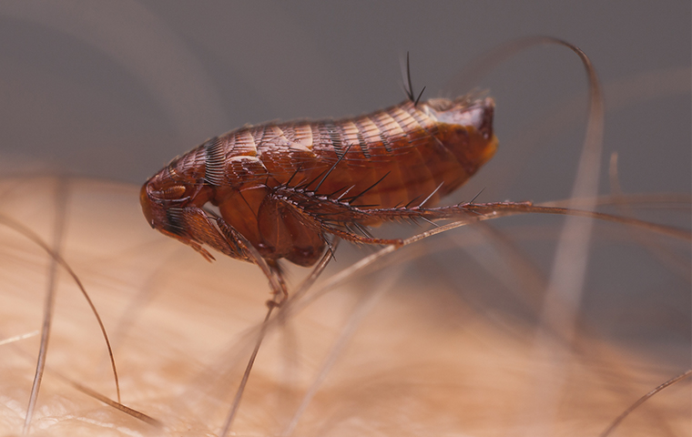 a flea on a persons head in pryor oklahoma