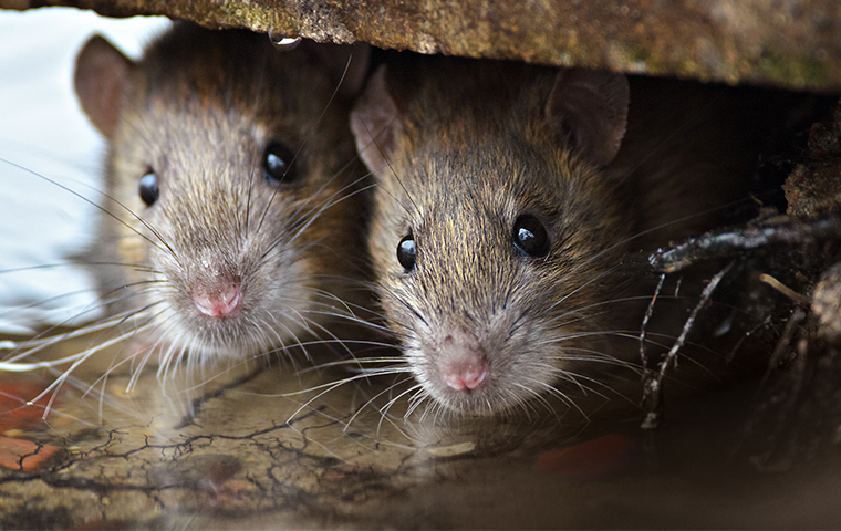 two rats hiding in a home in salina oklahoma