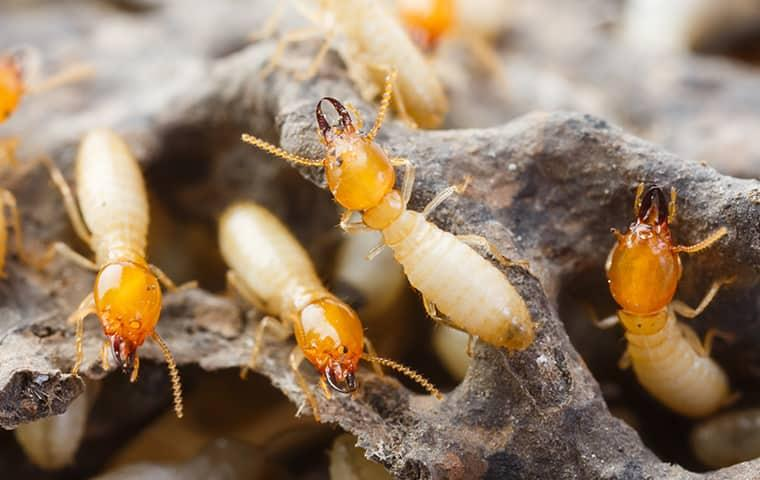 up close image of termites in pryor oklahoma