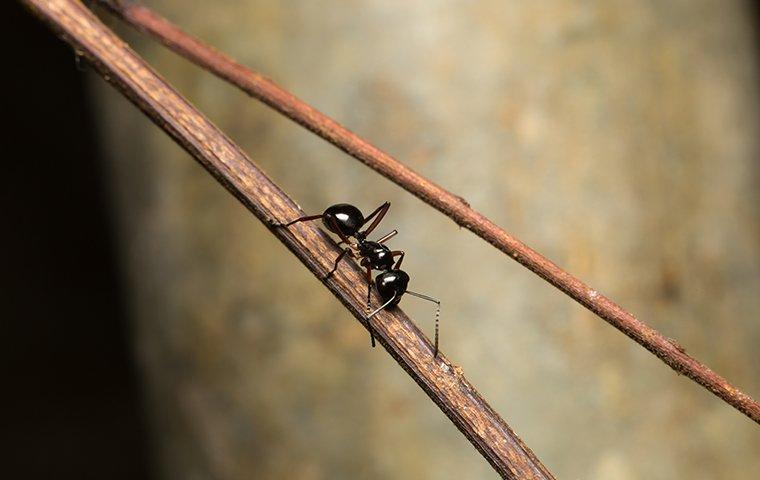 an ant crawling on a twig outside of a home in fort worth texas