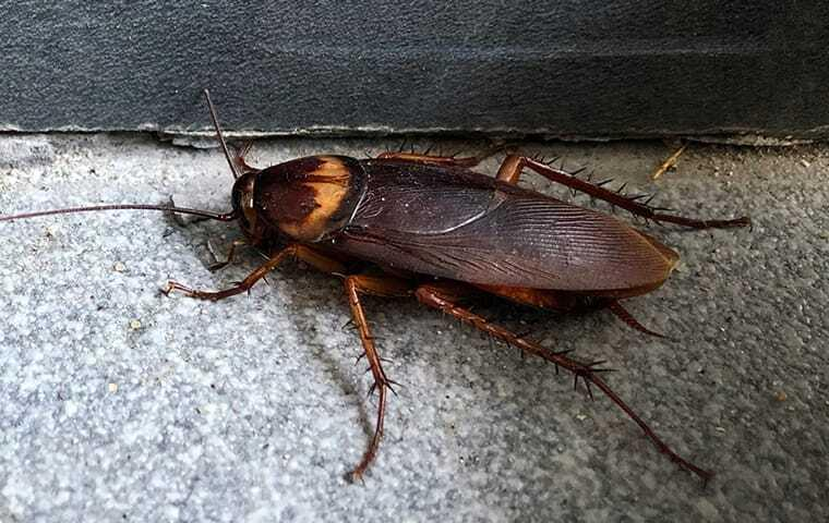 american cockroach in basement of home
