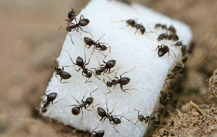 a colont of ants on a suger cube in las vegas