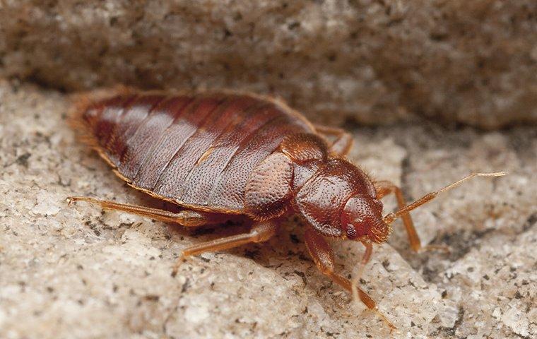 a bed bug infesttaion in a mattress