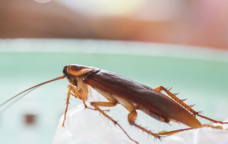 close up of a cockroach in a mesquite nevada kitchen