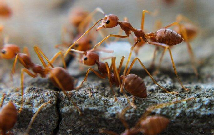 a cluster of fire ant crawling on dallas landcaping