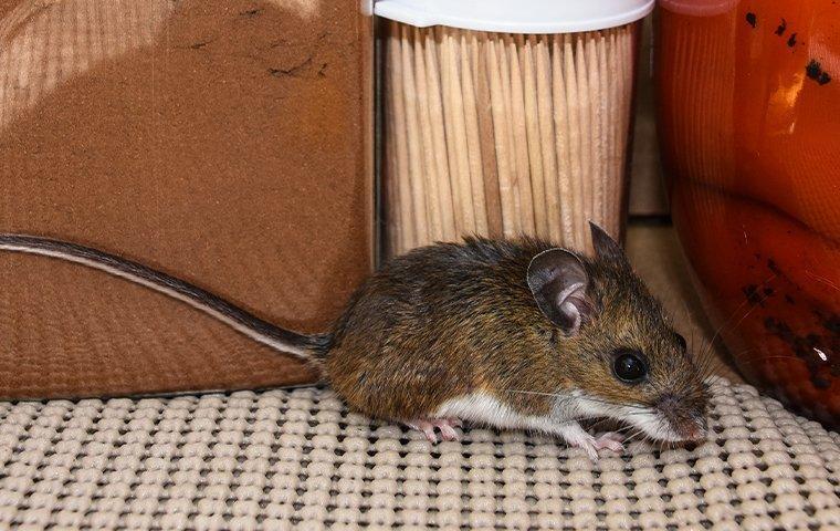 a house mouse raiding a pantry
