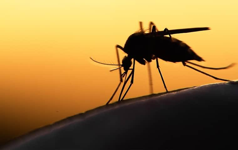 a mosquito biting through skin in the evening
