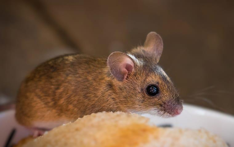 a  house mouse inside of a dallas texas home during winter