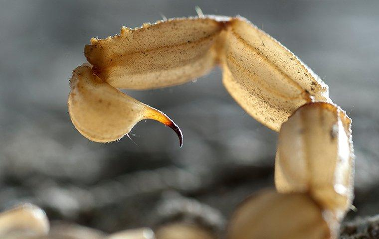 scorpion tail about to sting