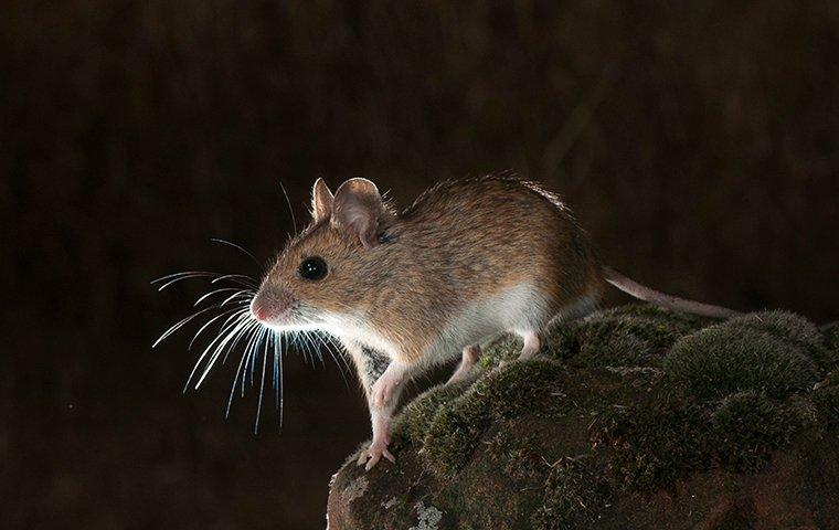 a field mouse on a rock