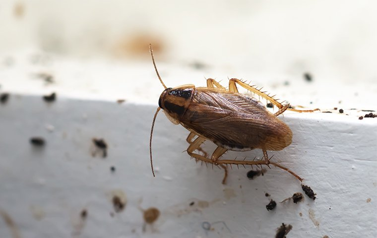 a german cockroach crawling inside of a home in dallas texas