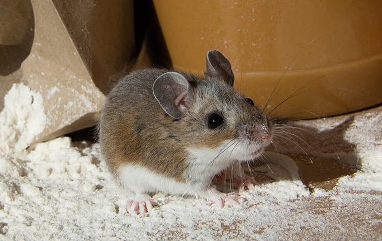 a house mouse in a pantry