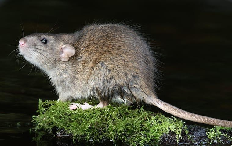 a norway rat in a back yard