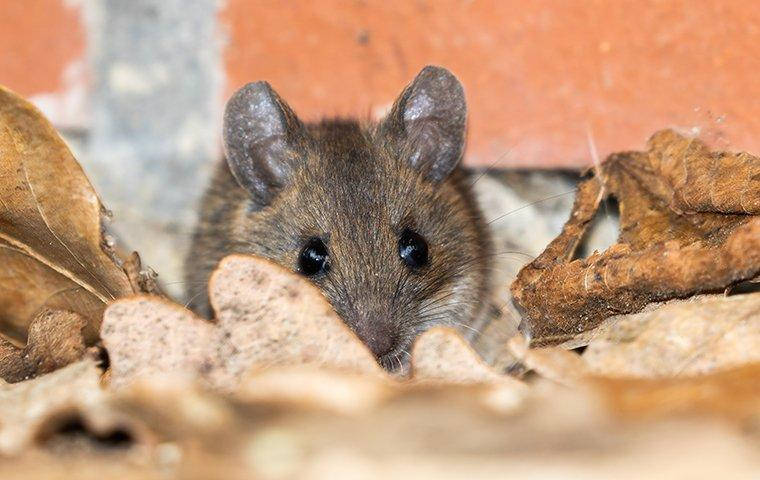 a mouse inside the pantry of a home in st george utah