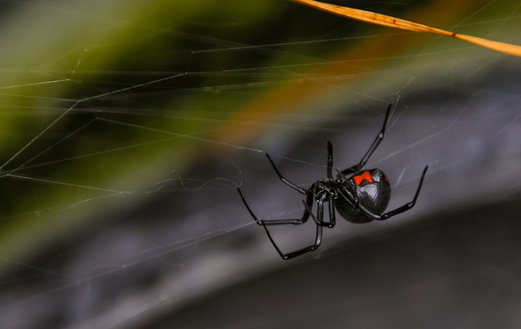 a black widow spider crawling outside of a home in dallas texas