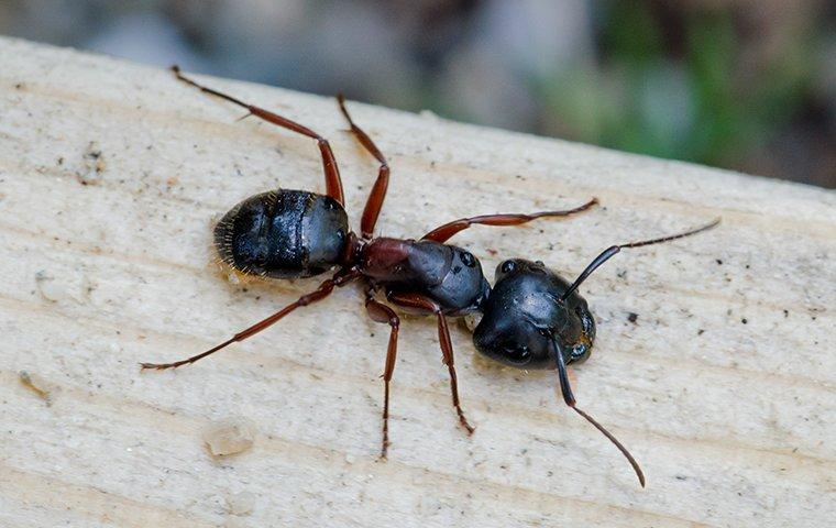 a carpenter ant crawling on a wooden deck