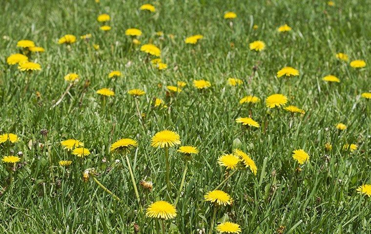 dandelion weeds in a yard