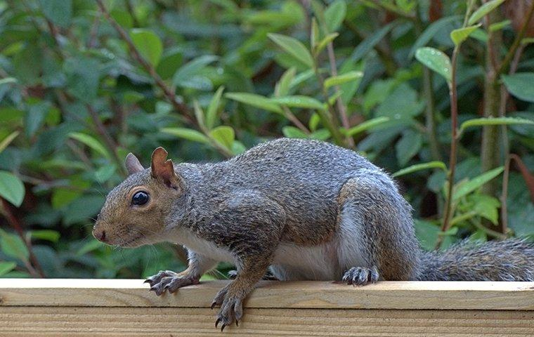 gray squirrel on patio