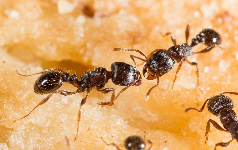 pavement ants lunching on crumbs in a memphis home