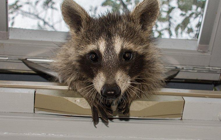 raccoon coming inside house