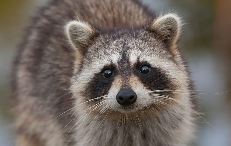 a raccoon up close in memphis tennessee