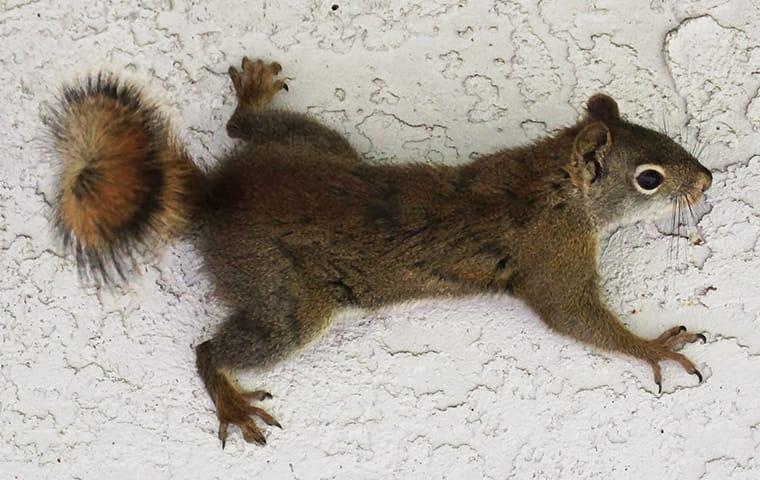 a squirrel crawling along the walls of an attic in memphis tennessee