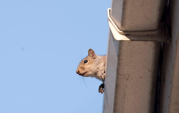 a squirrel on a roof in memphis tennessee residential home