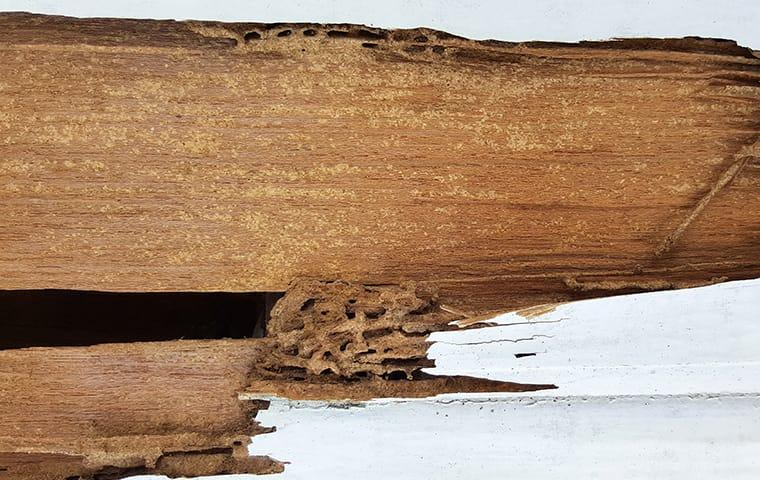 clear signs of termite damage through our the wooden structure in a memphis tennessee home