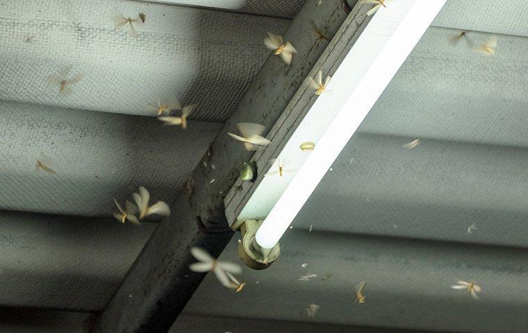 termites swarming around home