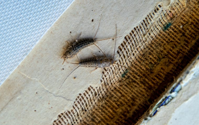 two silverfish on the floor of a bathroom in a memphis tennessee home