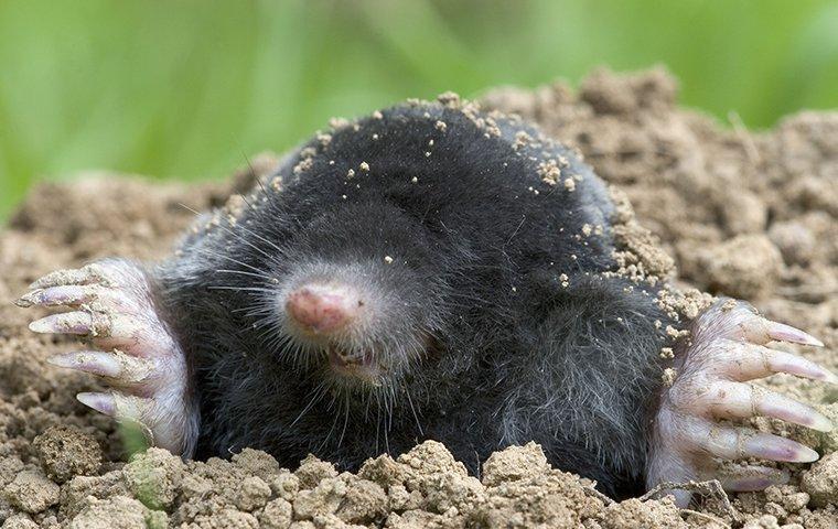 a mole poking its head out of a hole
