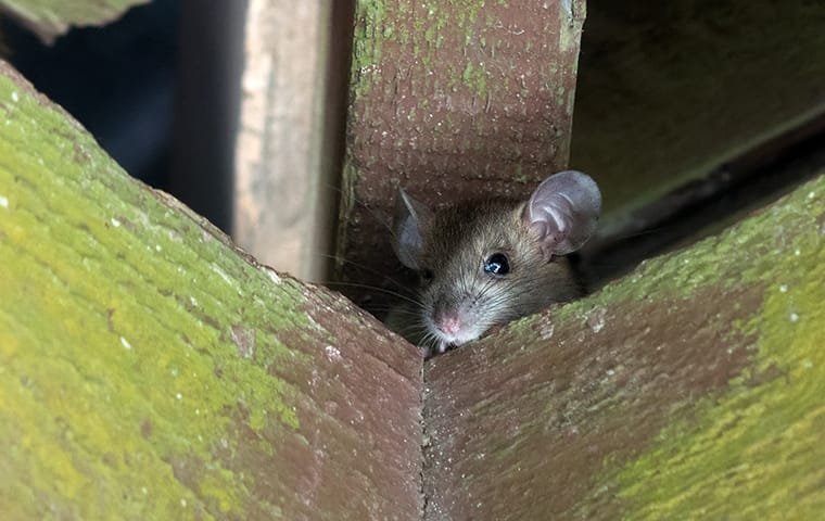 a rat in an attic in a home in memphis tennessee