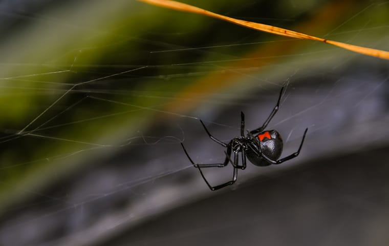 a black widow spider in its web at a home in memphis tennessee