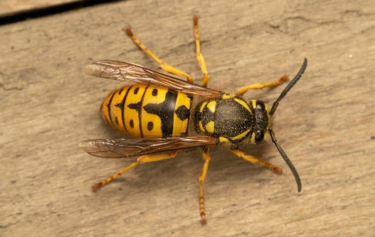 a yellow jacket wasp on a picnic table in memphis tennessee