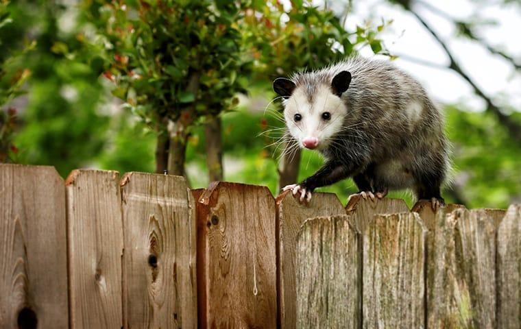 an opossum on top of a fence outside of a home in memphis tennessee