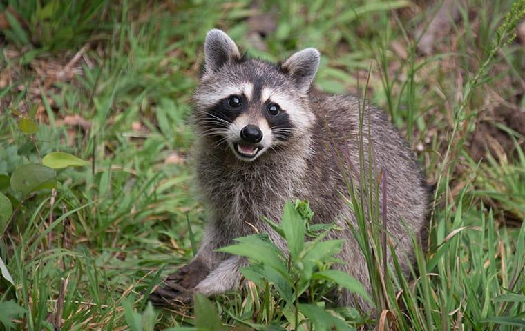 a raccoon in the back yard of a home in memphis tennessee
